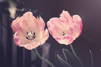 Two pink flower photo