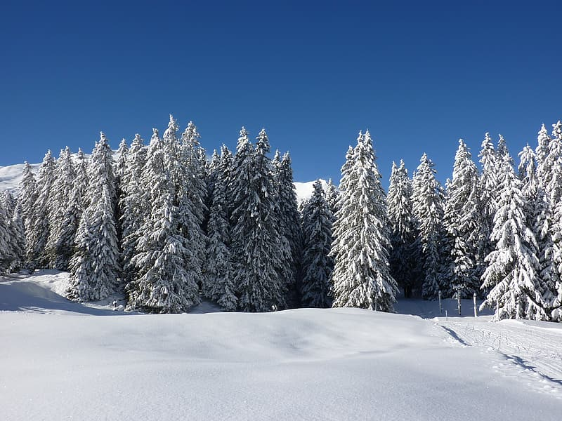 Pine trees covered by snow during daytime