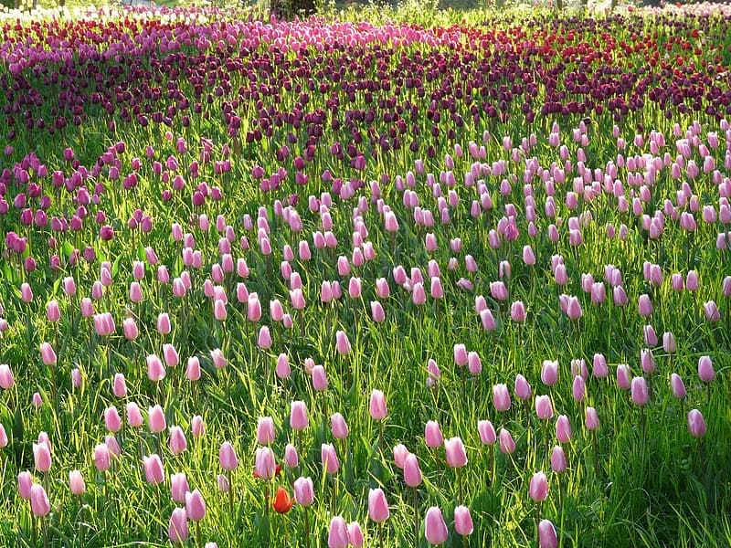 Pink and red tulips field at daytime