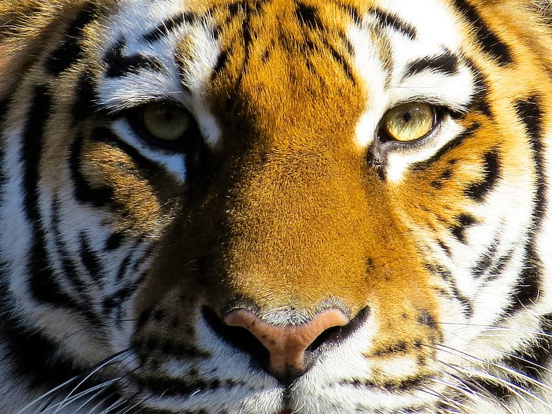 Brown and black tiger face