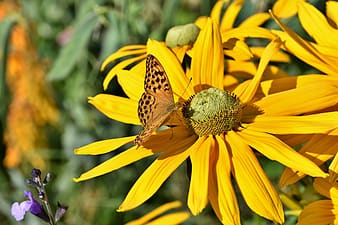 Yellow and black butterfly on yellow flower