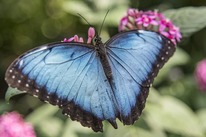 Selective focus photography of morpho butterfly perched on pink petaled flower