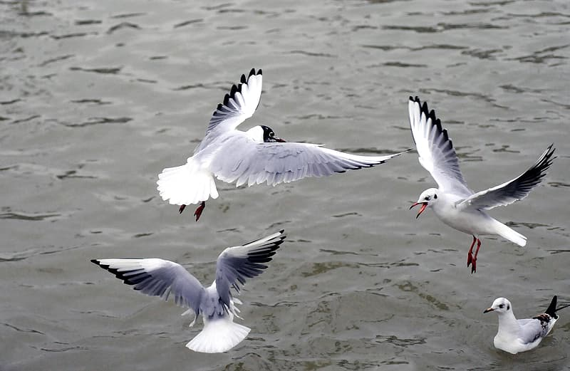 Four Franklin's gulls on water during daytime