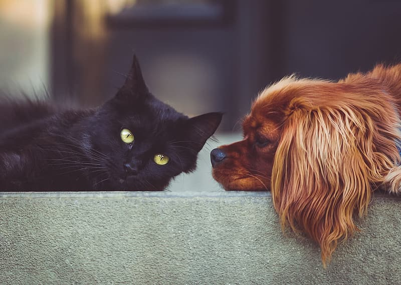 Photo of bombay cat and Cavalier King Charles spaniel