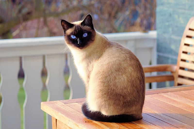Siamese cat sitting on brown wooden table