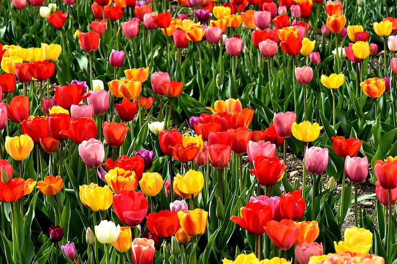 Red, pink, and yellow tulip field at daytime