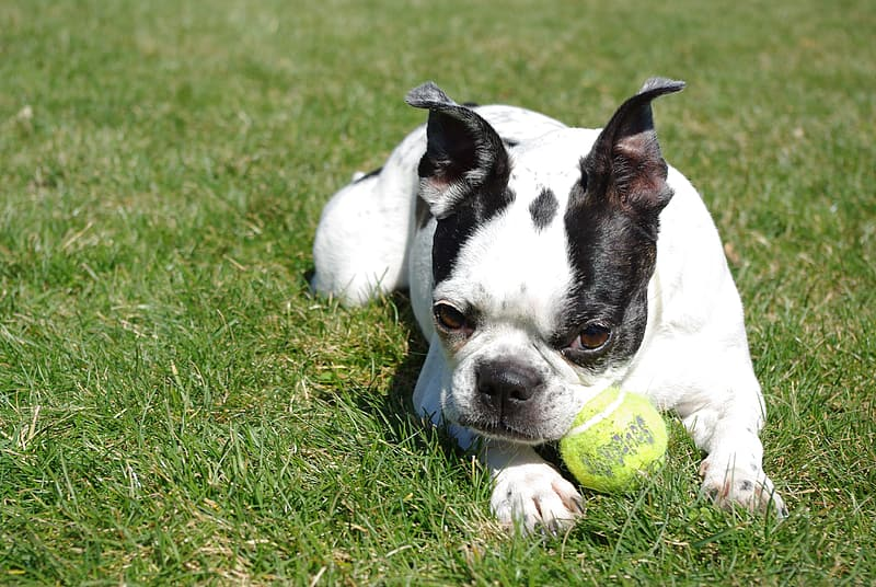 White and black French bulldog on green grass