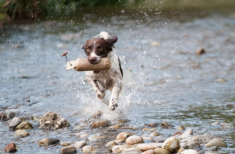 Brown and white coated dog running in the body of water during daytime