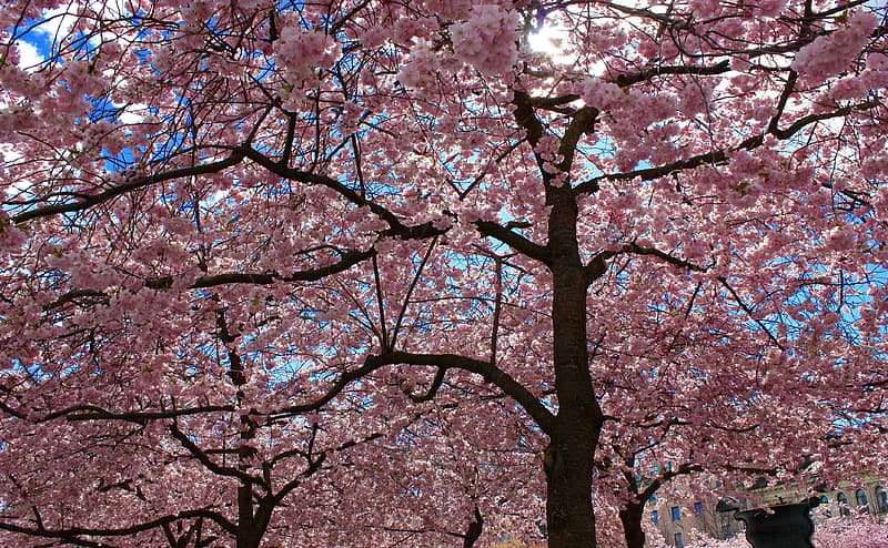 Pink cherry blossoms tres