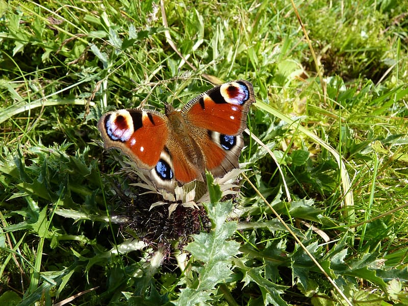 Peacock butterfly on green grass