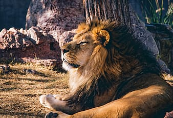 Wildlife photography of lion