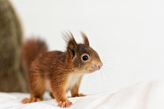 Brown squirrel on white textile