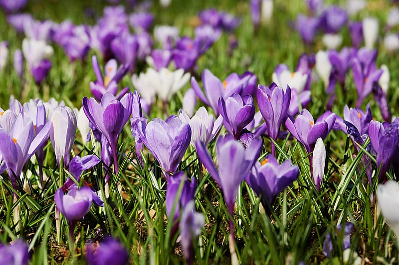 Close-up photo of purple crocus flowers in bloom at daytime