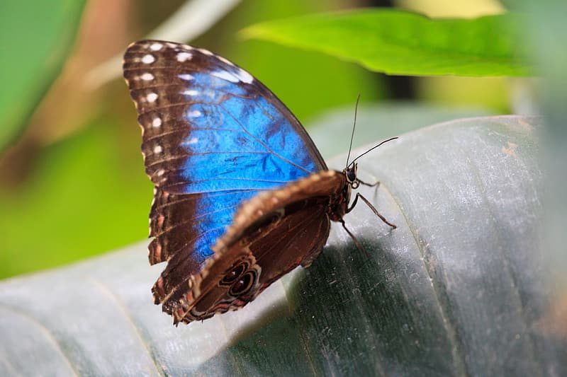 Brown and blue butterfly on green leaf