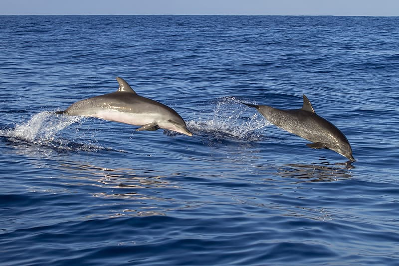 Two gray dolphins jumping on ocean during daytime