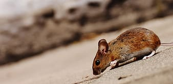 Selective focus photography of brown mouse