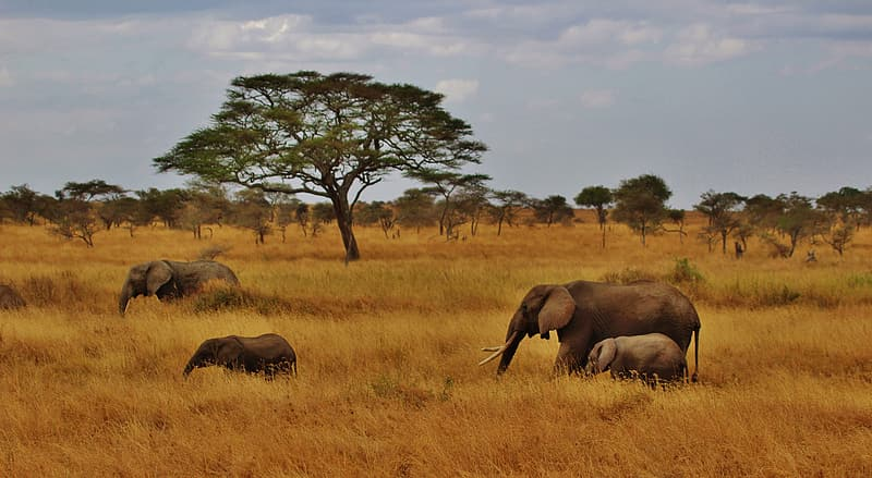 Four brown elephants on grass field during daytime