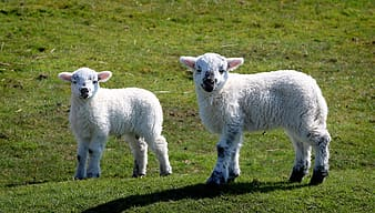 Two white lamb standing on grass field