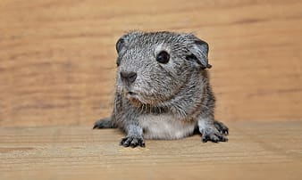 Gray rodent on brown wooden surface