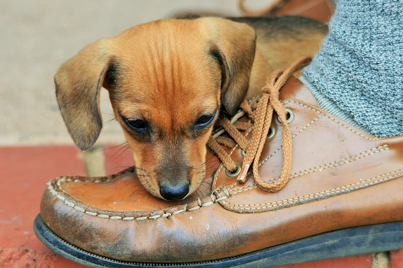 Short-coated tan puppy near brown leather shoe