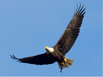 Flying bald eagle at daytime