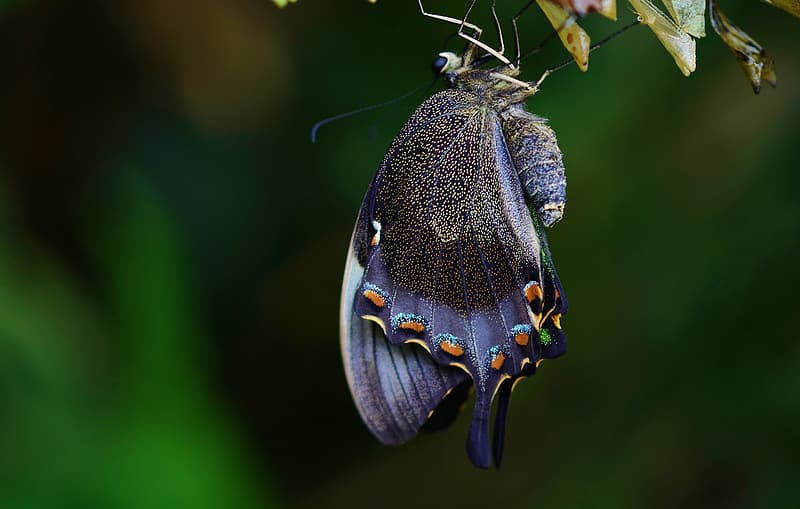 Spicebush swallowtail butterfly perched on green leaf closeup photography