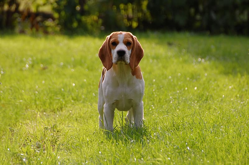 White and brown Beagle on grass field