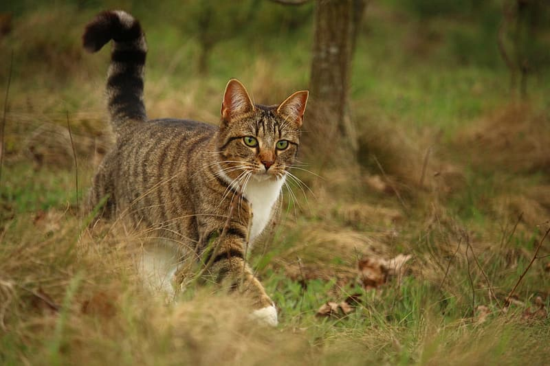 Gray tabby cat walking on green and brown grass at daytime