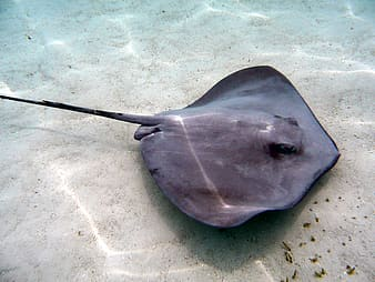 Gray stingray under water at daytime