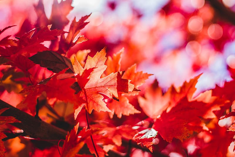 Selective focus and bokeh photography of red maple leaf