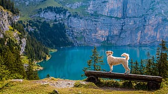 Fawn dog standing on a wooden bench facing a calm lake at daytime