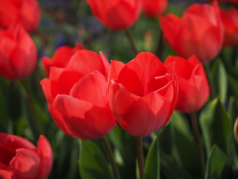 Closed up photo of red tulips
