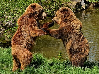 Two brown cubs having a fight near body of water