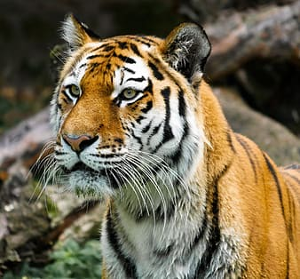 Brown and white tiger on brown tree branch