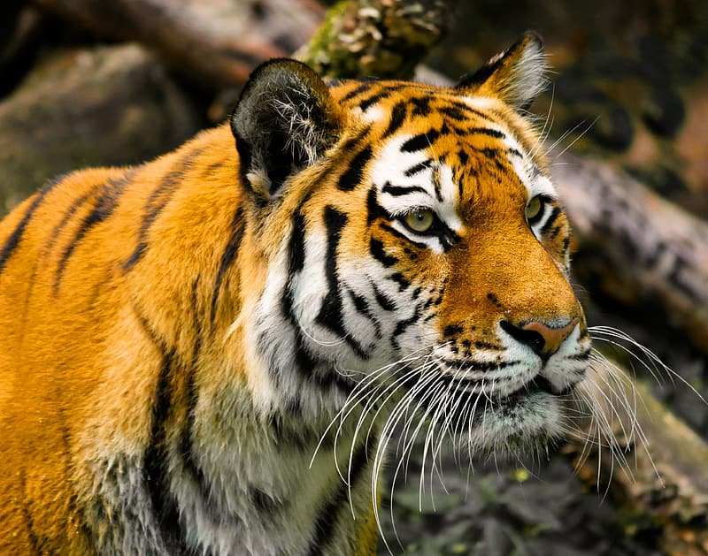 Brown and black tiger on brown tree branch
