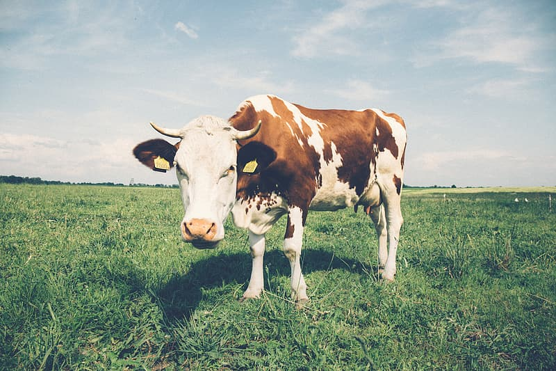 Brown and white cow on green grass field