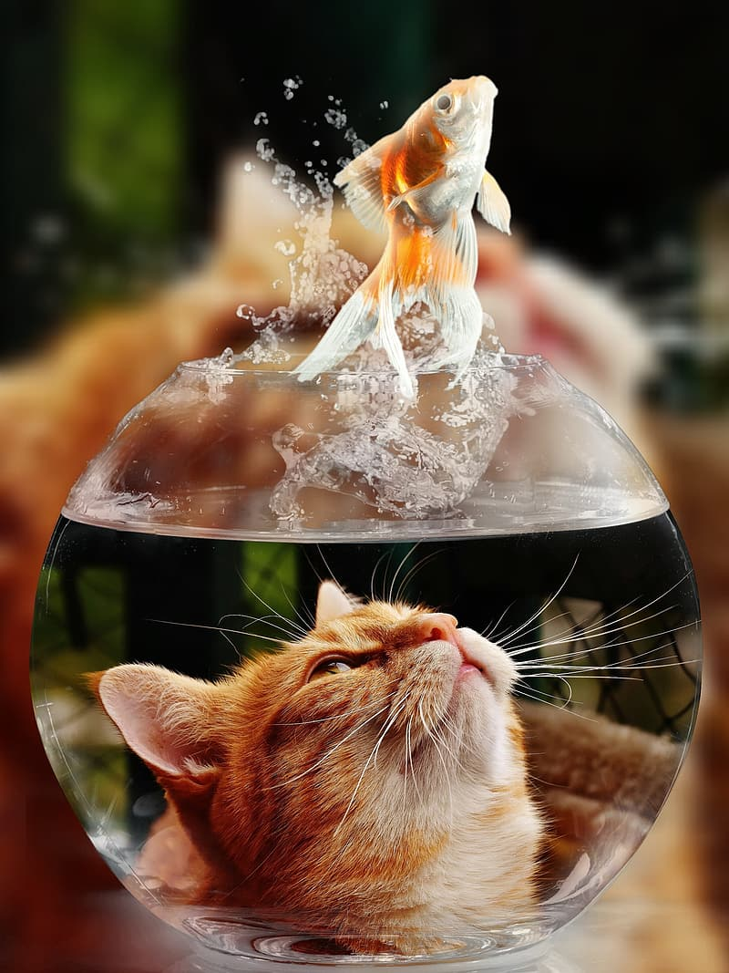 Cat looking up on gold fish above clear glass fish bowl