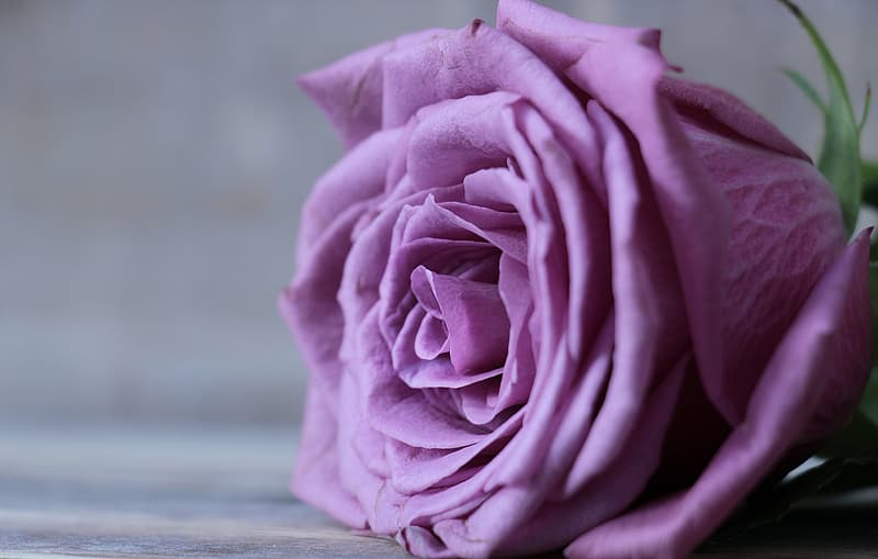 Selective focus photography of purple rose