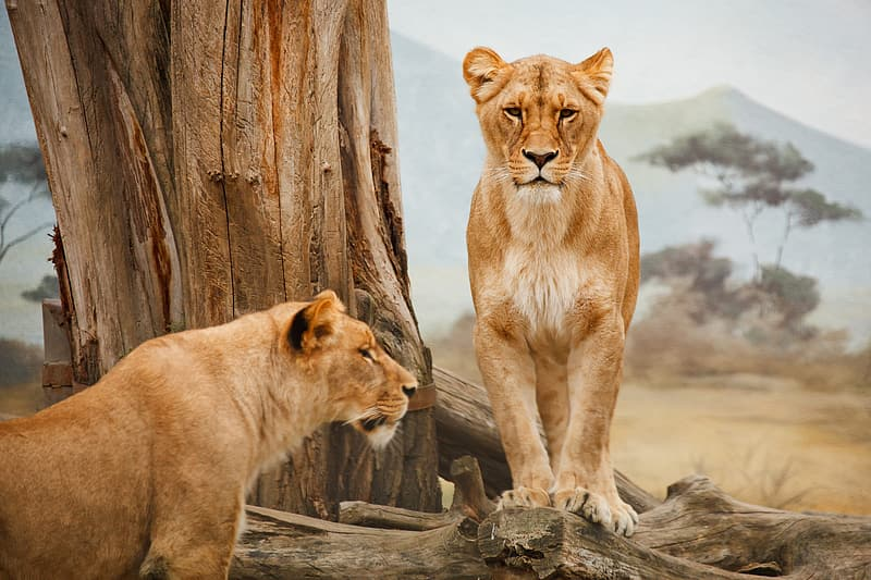Two lioness near tree