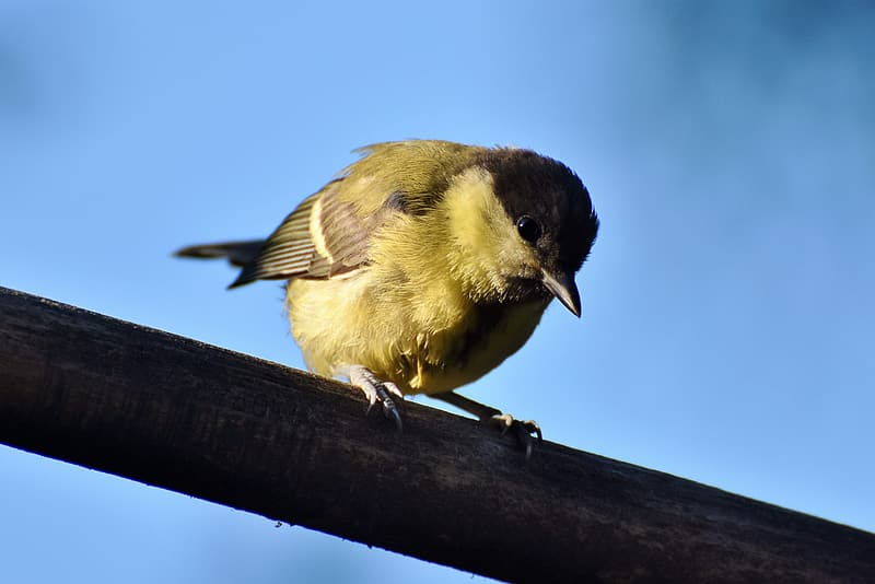 Selective focus photo of yellow tit bird perching on brown wood plunk