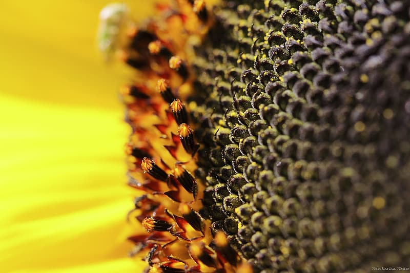 Sunflower close up photography