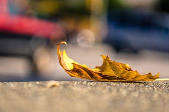 Selective focus photography of maple leaf on grey pavement