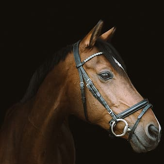 Brown horse with black background