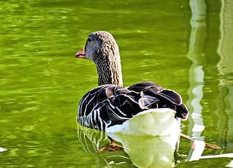 White and black duck on water during daytime