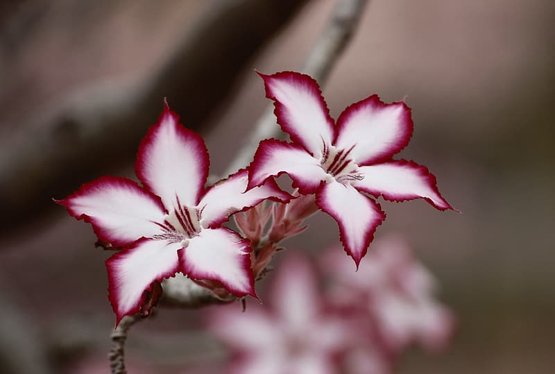 Selective focus photography of pink-and-white petaled flowers