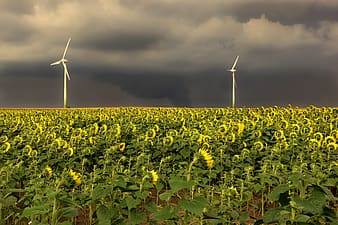 Yellow flower field under gray cloudy sky during daytime