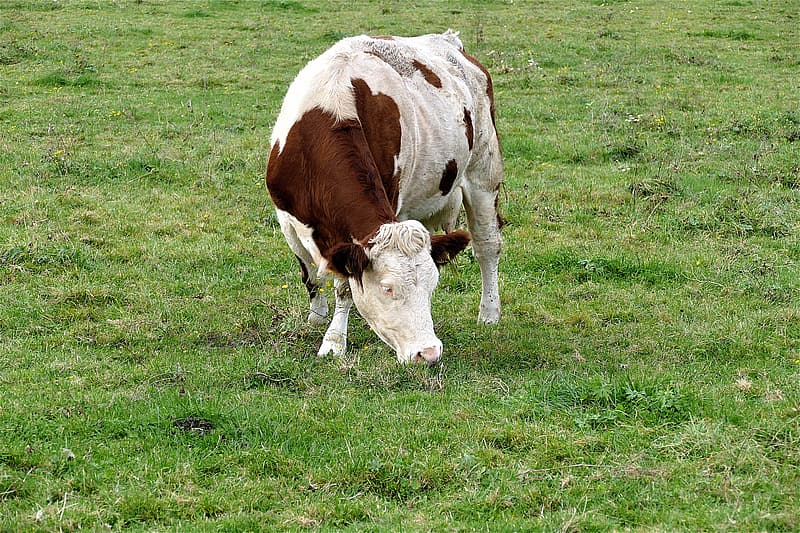 White and brown cow on green grasses