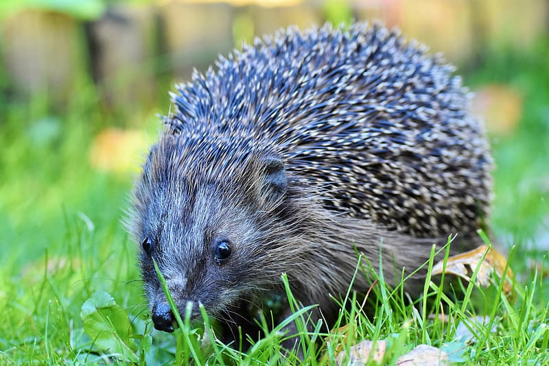 Black hedgehog on green grass during daytime
