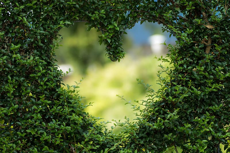 Heart-shaped green leaves plant