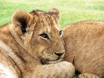 Photo of female lion during daylight